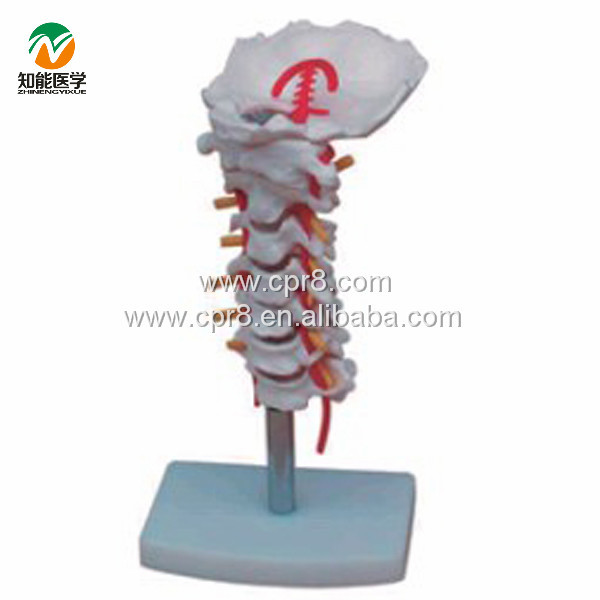 BIX-A1014 Cervical Carotid Artery, Occipital, Intervertebral Disc And Nerve Model Human Skeleton Anatomical Model bix a1005 human skeleton model with heart and vessels model 85cm wbw394