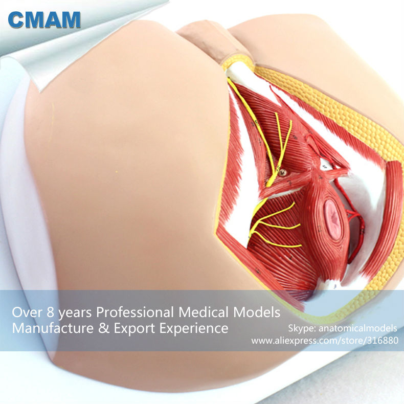 CMAM-ANATOMY25 Life Size Anatomy and Biology Education Male Perineum Medical Model ingersoll in2817bk