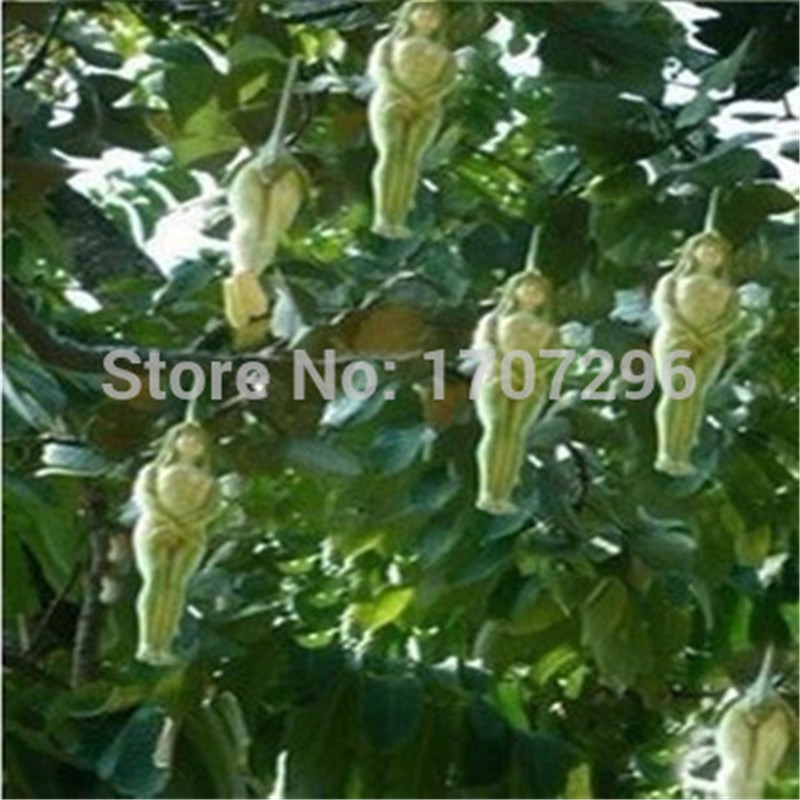 Female Ginseng Fruit seeds Bonsai Ornamental funny herb tree seeds sapodilla Solanum muricatum - 10 pcs / lot