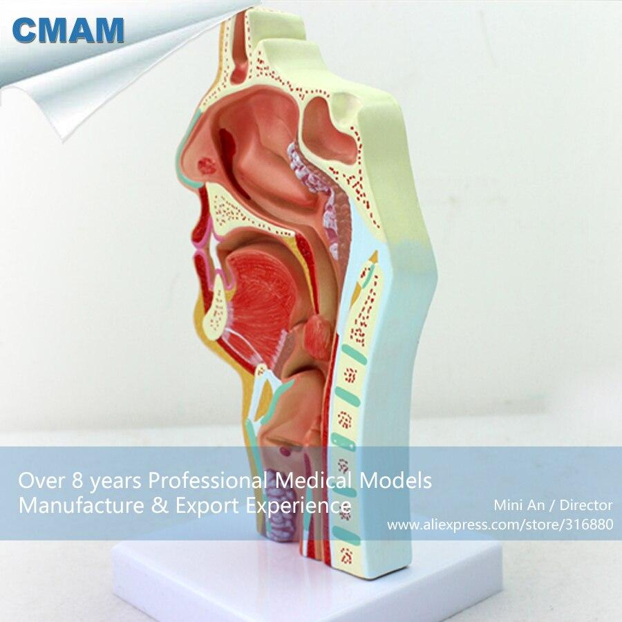 12508 CMAM THROAT04 Human Disease Nasal Cavity Section Anatomy Model ...
