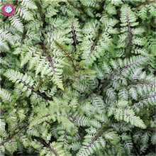 100pcs rainbow fern seeds Real creeper vines grass Mixed color foliage bonsai planting exotic flower for home garden supplies