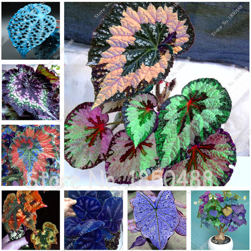 Rare Coleus Seeds Bing Images