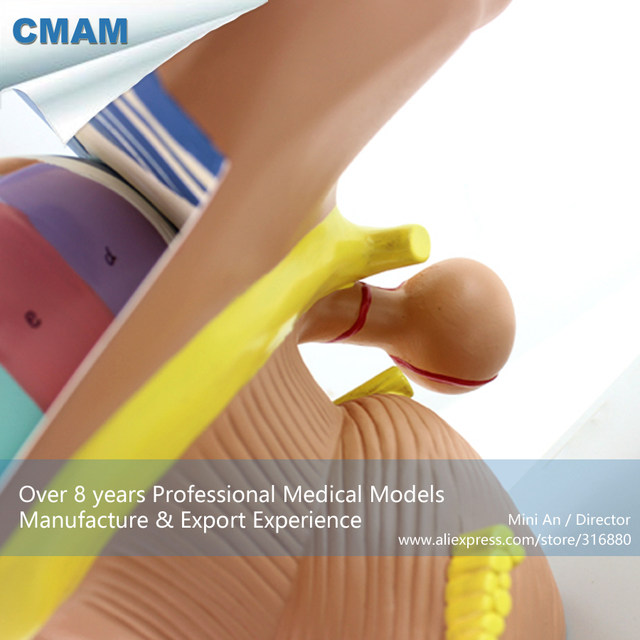 Tienda Online 12411 CMAM-BRAIN13 plástico humano anatomía cerebro ...