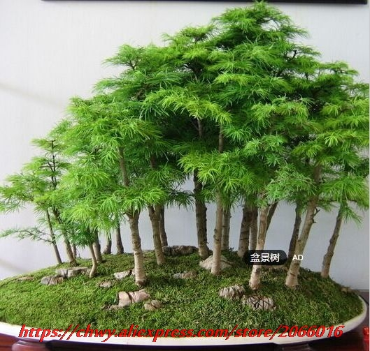 bonsai tree for office. 50 Juniper Bonsai Tree Seeds Potted Flowers Office Purify The Air Absorb Harmful Gases Free For M
