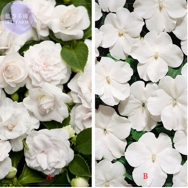 Bellfarm white impatiens walleriana bonsai flowers 40pcspack bellfarm white impatiens walleriana bonsai flowers 40pcspack garden balsam perennial double mightylinksfo