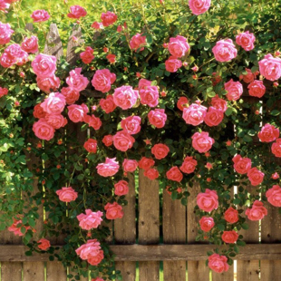 50 seeds/pack Rosa Chinensis flower seeds potted easy to plant the seed package wholesale sowing indoors four seasons