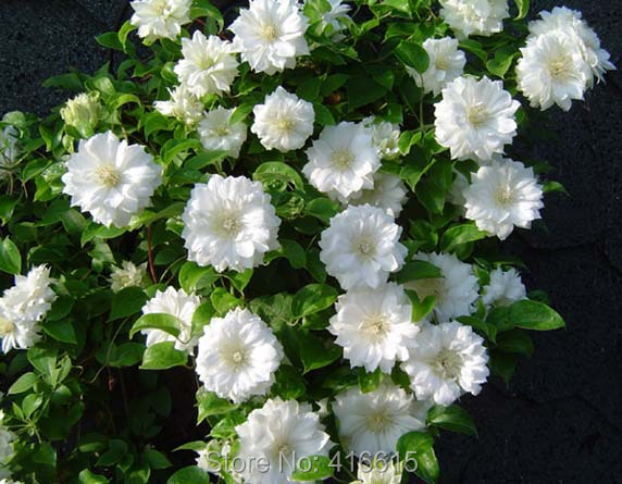 popular climbing vinebuy cheap climbing vine lots from china, Natural flower