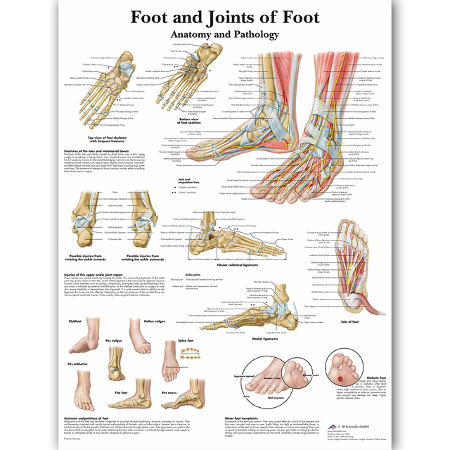 Foot Joints Of Foot Chart Anatomy Pathology Poster Canvas Painting