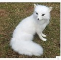 Free shipping New Year gift simulation animal model furnishing articles stuffed animals fox cartoon pet white fox gift