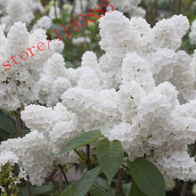 100pcs White Japanese Lilac Seeds (Extremely Fragrant) clove  flower seeds for  home & garden