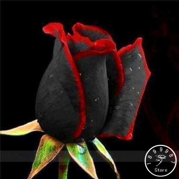 15 Most Beautiful Black Flowers: 100 PCS China Rare Black Rose Flowers Rare Amazingly