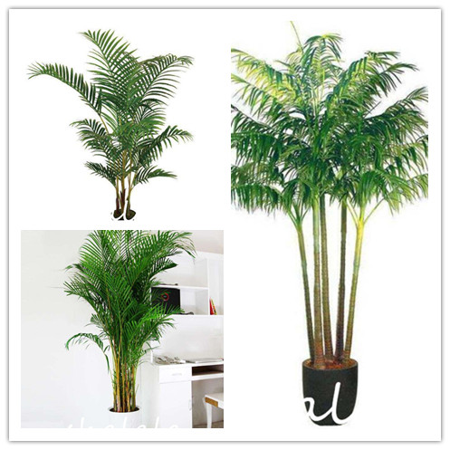 US $0.28 68% OFF 10pcs erfly Palm Bonsai Plants Indoor Plants Rare on portola valley houses, pleasant hill houses, arroyo grande houses, mendocino houses, buena park houses, barstow houses, hughson houses, ladera ranch houses, twentynine palms houses, wildomar houses, coachella valley houses, lost hills houses, trona houses, fountain valley houses, canoga park houses, prather houses, sanger houses, salinas houses, los osos houses, sonoma county houses,