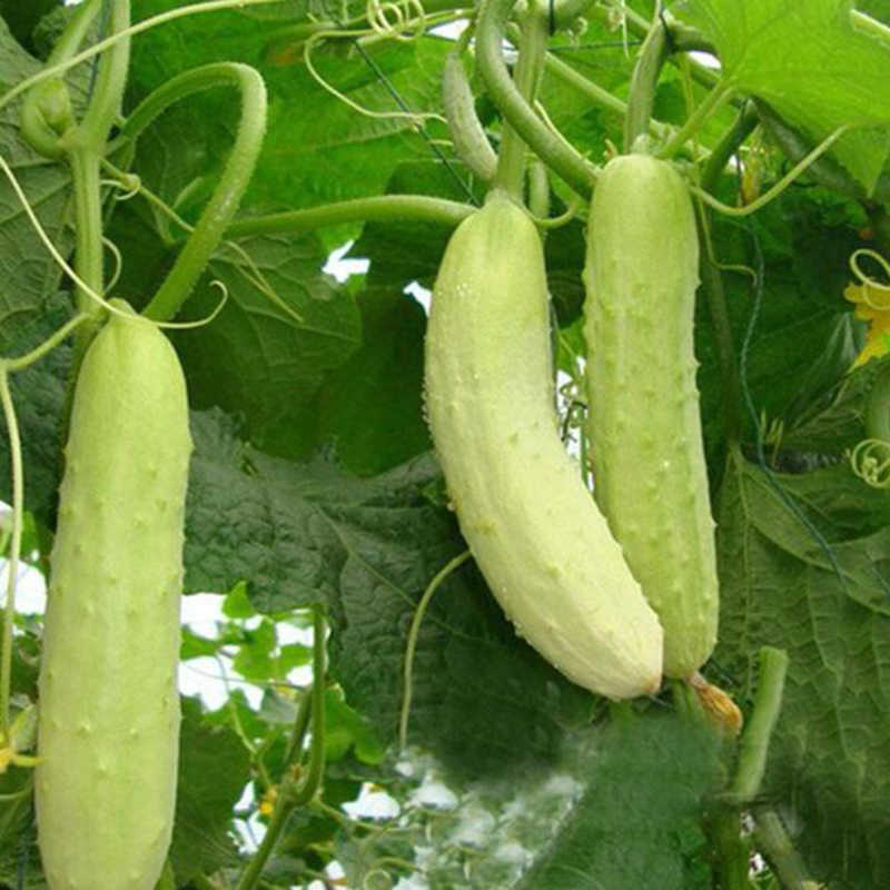 20 Pieces Of Balcony Potted Green Fruit Cucumber Crispy Raw Vegetable Cucumber Plant Bonsai Vegetable Finger Bonsai