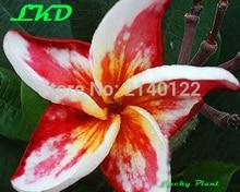 7 15inch Rooted Plumeria Rubra Plant Thailand Rare Real Frangipani Plants no153 madamponi hybrid 1