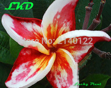 7-15inch Rooted Plumeria Rubra Plant Thailand Rare Real Frangipani Plants no153-madamponi-hybrid-1