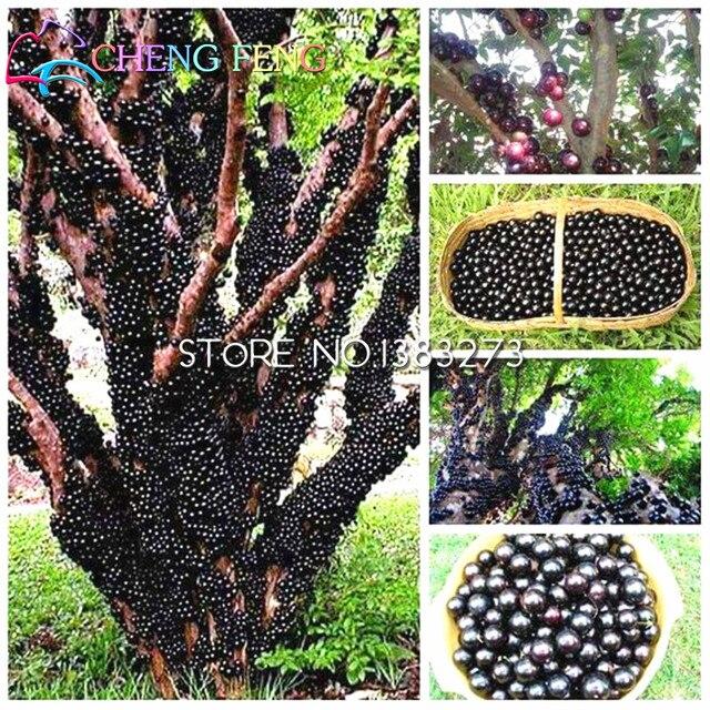 100 шт съедобный хороший вкус ябутикабские растения здоровые фруктовые растения крытый и открытый бонсай Бесплатная доставка