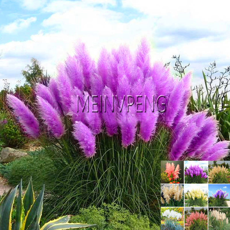 Sale!500 PCS / package pampas grass bonsai seeds rare reed flower seeds for home garden planting Selloana Seeds potted decoratio