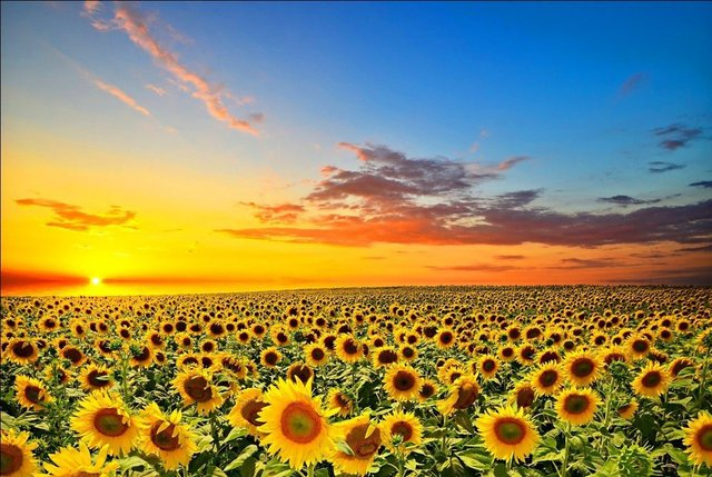 1000 Wooden puzzles beautiful scenery Sunflowers 1500 Sunflower     1000 Wooden puzzles beautiful scenery Sunflowers 1500 Sunflower flower  sunflower sun flowers
