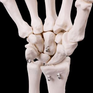 Image 3 - Medical props model Free postage Hand Joint Anatomical Skeleton Model Human Medical Anatomy Study Tool Life Size