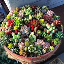100 pcs/ bag Exotic Mini Succulent Cactus Rare Perennial Herb Plants Bonsai Pot Flower Indoor for Garden Flore
