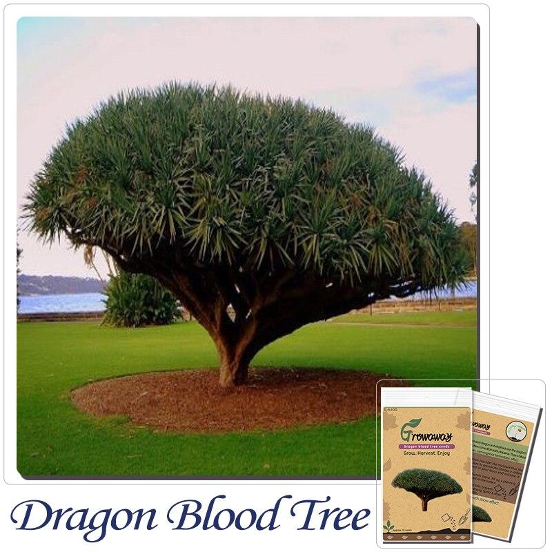 Tree Bonsai 10 Pcs Canary Island Dragon Blood Potted Plants Dracaena Draco Showy Exotic New Ng