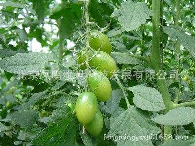 СеменаПомидоров сорт Изумрудный 120 штук фото