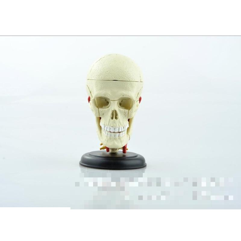 Brain skull brain anatomical model of medical education of medical model assembled model все цены
