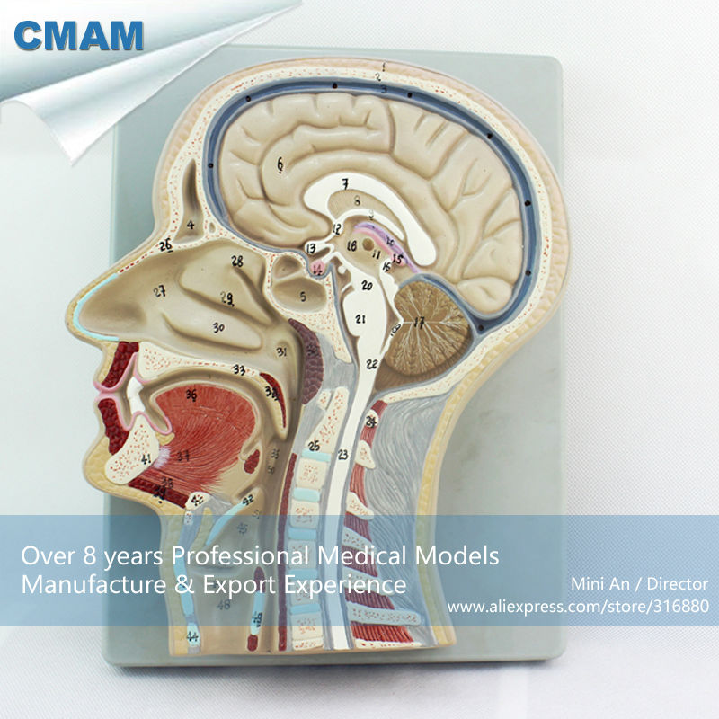 12399 CMAM-BRAIN02 Advanced Brain Section Model, 53 Positions Displayed Brain Model sagitally section model about tissue decomposition model for doctor patient communication model with magnetic