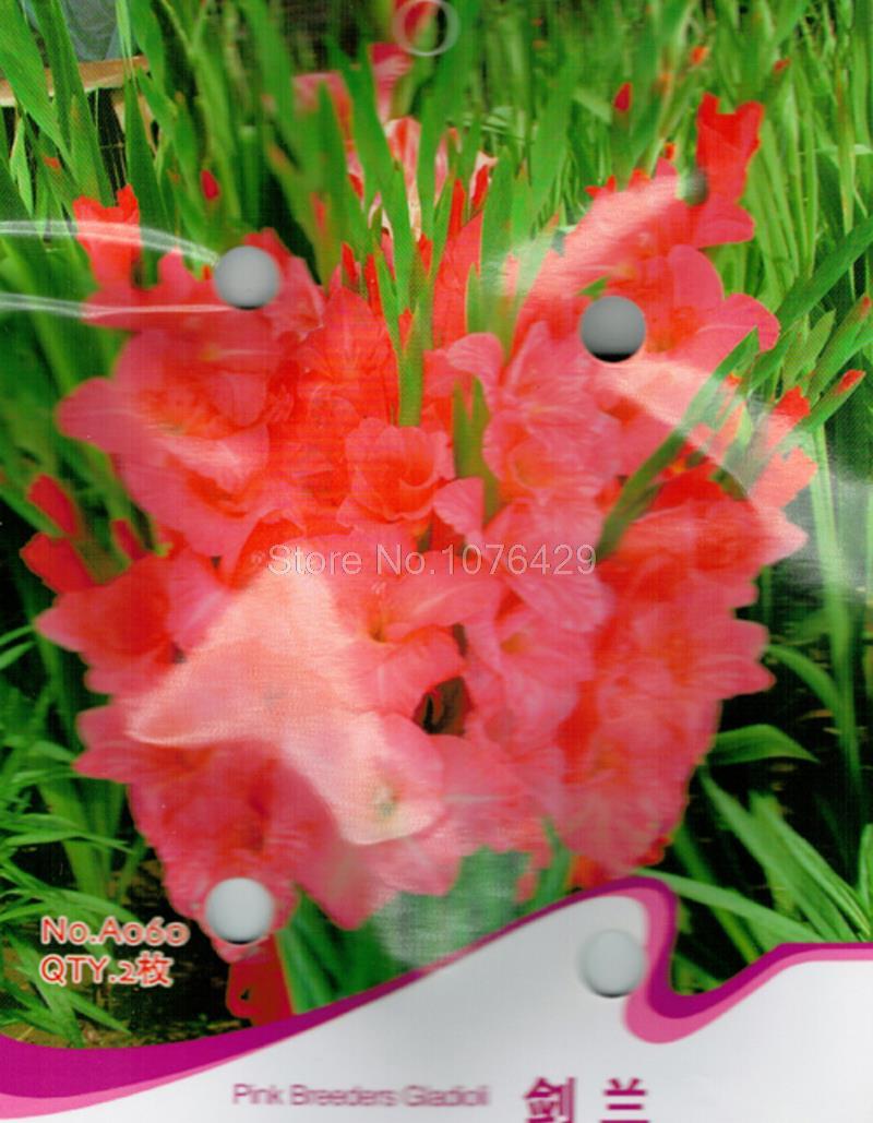 Pink Breeders Gladioli Seeds Gladiolus Hybridus Vaniot Houtt Flower