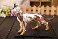 4D master dog anatomical model skeleton model bones dimensional anatomical model science education model free shipping