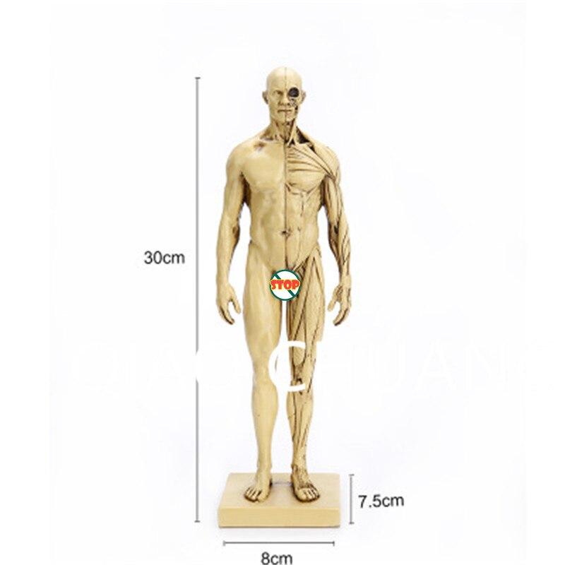 Sistema Muscular humano 3D enseñanza médica cráneo simulación ...