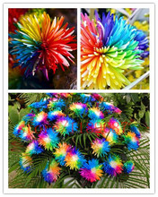 200 pcs Rainbow Chrysanthemum Flower Seeds,daisy  rare color ,best gift seeds for DIY Home Garden kids love this rainbow plant