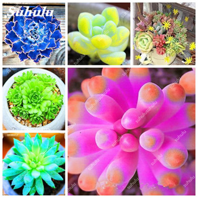 100 Rare colorful succulent plant Succulent Cactus Seeds lotus Lithops Pseudotruncatella seeds Bonsai plant for home garden