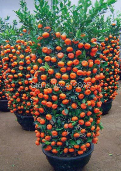 30 Pieces /Bag Top Selling High Quality Bonsai Sweet Orange Tree Seeds Organic Fruit Tree Seeds Free Shipping For Home Garden
