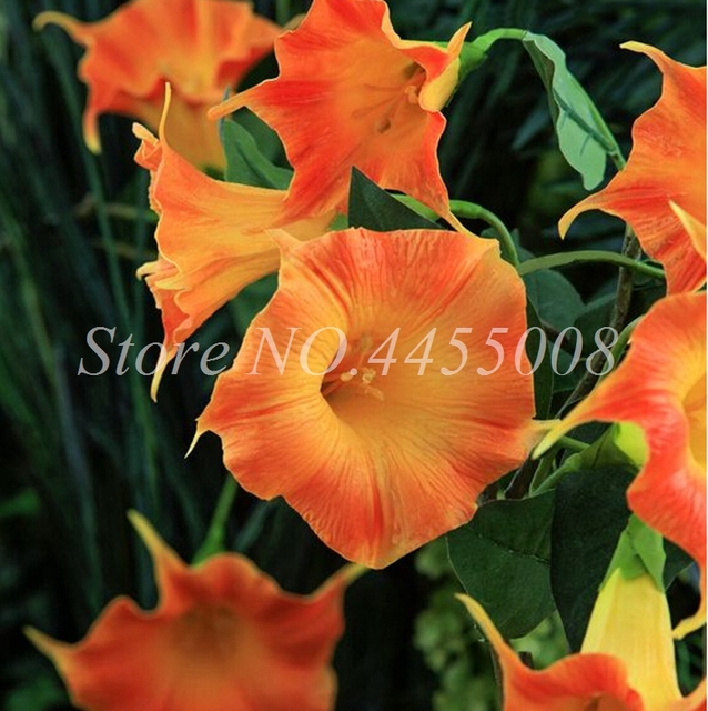 Morning Glory Flower Seeds (250 Pieces)