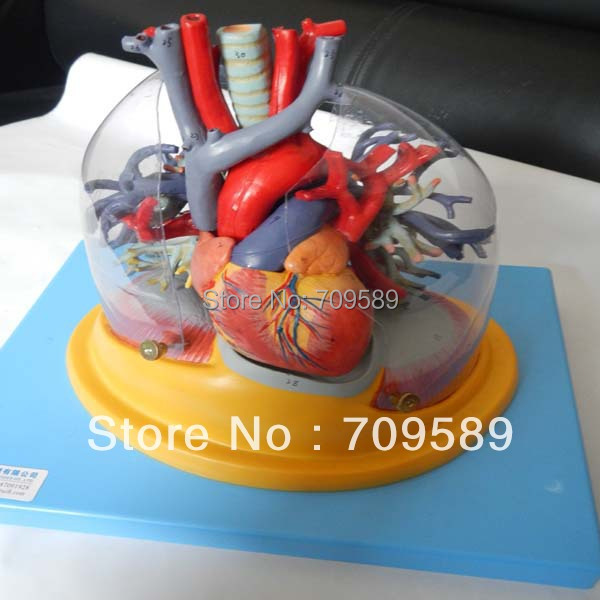 HOT SALES Transparent lung, trachea and bronchial tree with heart model