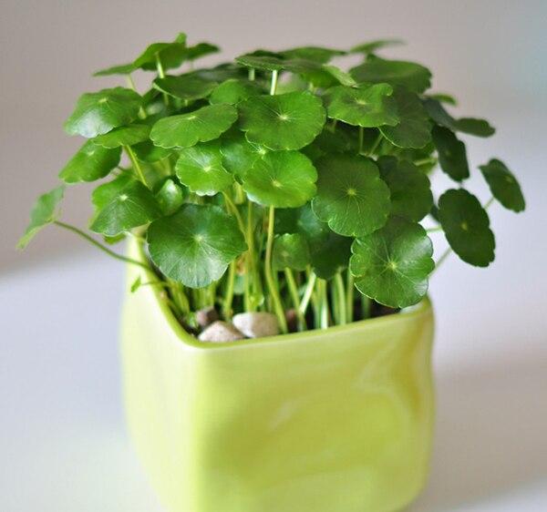 30pcs/lot Hydroponics Flower Aquarium Plants Penny Grass Seeds, Best Indoor  Bonsai Plant Hydrocotyle