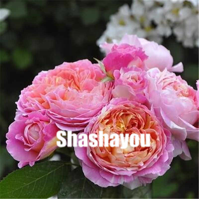 Detail Feedback Questions About 100 Pcs Mixed Chinese Rose Plants
