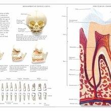 Vintage Anatomía Humana cartel de enciclopedia dientes clásicos de lona pinturas Vintage de pared hogar Decoración regalo