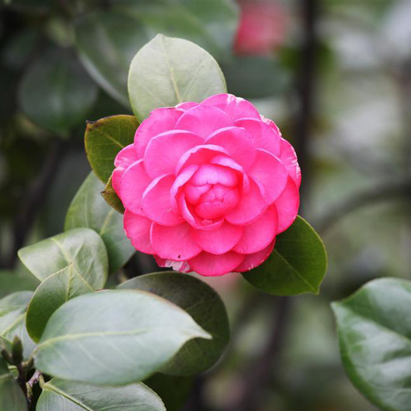Online get cheap red camellia alibaba group - Camelia planta ...