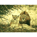 oil painting by numbers animal painting home decoration wall art canvas lion picture for living room modern art painting 8062