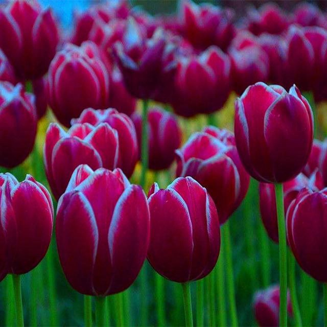 Beautiful Tulip Seeds, 100pcs/pack