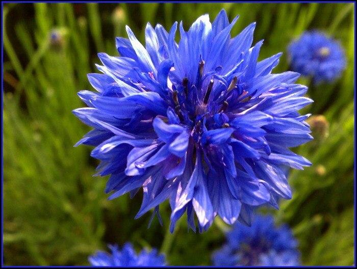 5 Pacotes de 250 Sementes Azul Cornflower Sementes