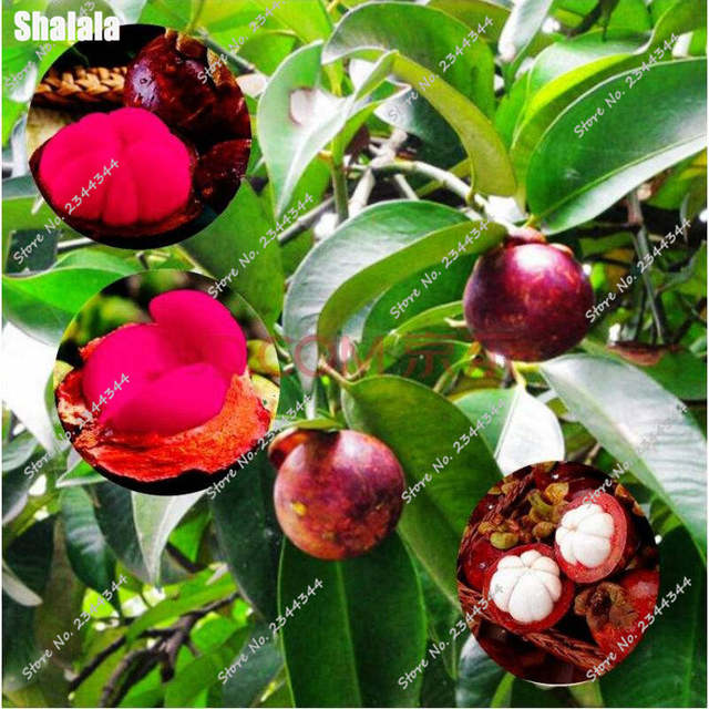 US $0 27 61% OFF|Family Clusiaceae Garcinia Mangostana Bonsai Evergreen  Tree Purple Mangosteen Fruit Bonsai Rate 95% Garden Plant 100 Pcs Potted-in