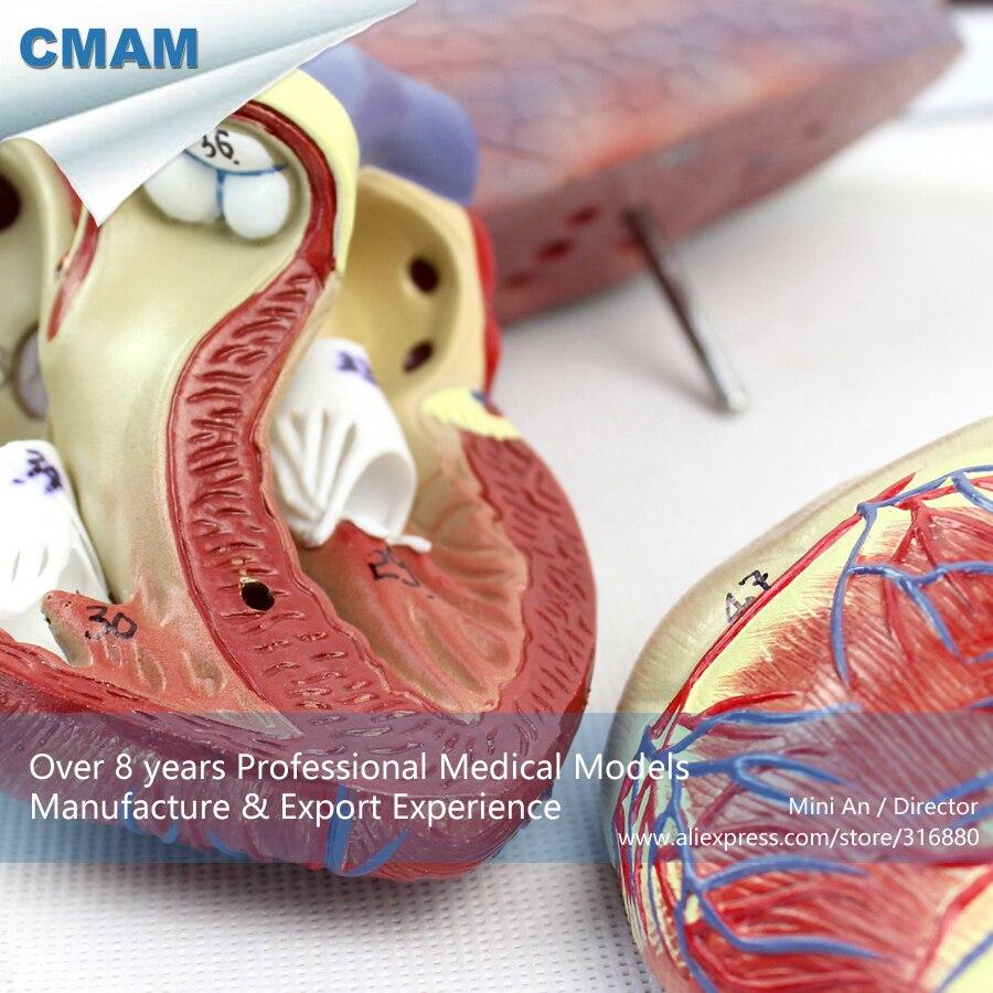 Atemberaubend Lungen Anatomie Ppt Bilder - Menschliche Anatomie ...