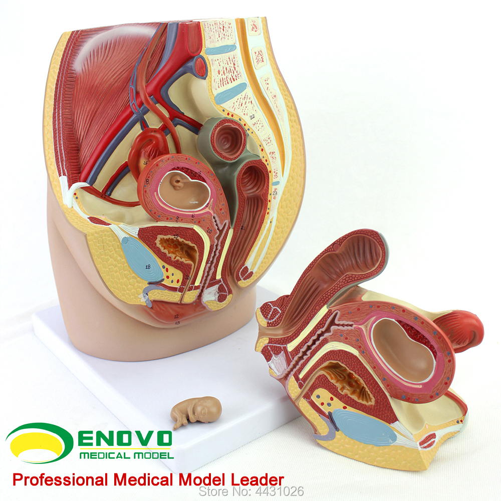 ENOVO Female pelvic anatomy model reproductive urinary uterus embryo children obstetrics and gynecology teaching female pelvic fetal model nine months of pregnancy fetus uterine embryo development model fetal development model gasen sz017