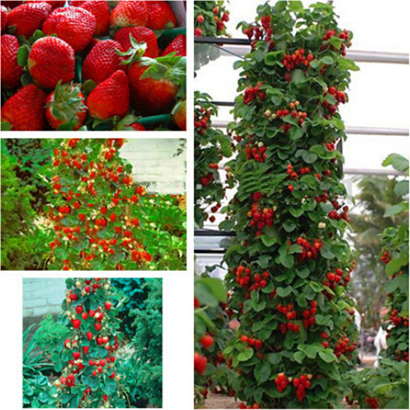 Red giant Climbing Strawberry Seeds Fruit Seeds For Home & Garden DIY rare seeds for bonsai – 100 seeds free ship