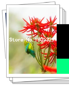 Free shiping 50pcs/lot Erythrina Crista Galli, Brazilian Shrub seeds beautiful flower bonsai plant DIY home garden free shipping