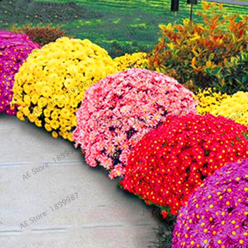 Leider van verkoop! stks / zak 100 gemalen tuin chrysanthemum, chrysanthemum overblijvende bonsai bloem Flores Daisy potplant voor thuis