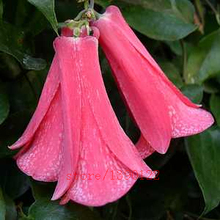 100pcs/bag Rare Campanula seeds,Campanula Chile Rosea,flower Campanula,Chilean Bellflower,Evergreen,plant for home garden